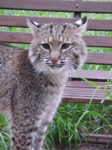 Bobcat North Carolina