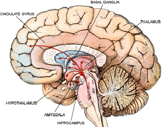 Where Is the Amygdala Located in the Brain